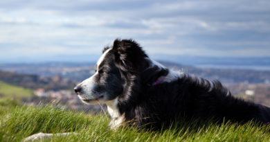 Idős kutya