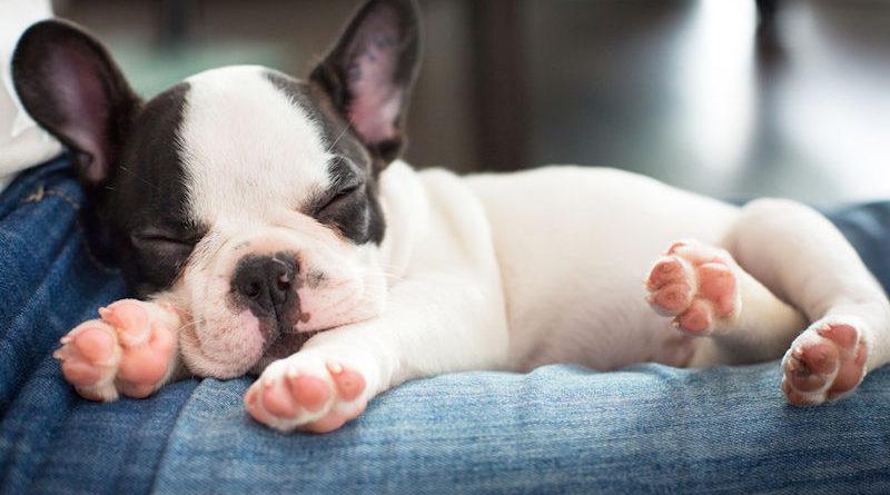 Alvó francia bulldog
