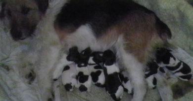 6:3 a fiúk javára, 9 FOXI kiskutya született Dömsödön