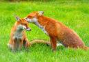 Megkezdődött a tavaszi rókavakcinázás