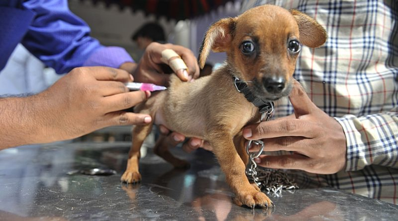 An Indian veterinary clinic employee gives a rabies vaccination to a pet dog at a free vaccination camp at the Government Super Speciality Veterinary Hospital on the occasion of World Zoonoses Day in Hyderabad  on July 6, 2016.Indian Immunologicals  Limited conducted a free vaccination camp in the city free of cost on the occasion of World Zoonoses Day at government hospitals across the city. / AFP PHOTO / NOAH SEELAM