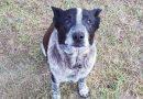 Kislányt mentett a 17 éves süket, félig vak kutya